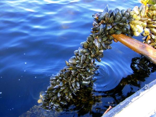 ферма по выращиванию мидий, мидии, голубая вода, море